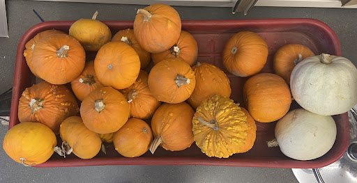 Pumpkins in Mr. Lauritsen's classroom for you to choose to paint.